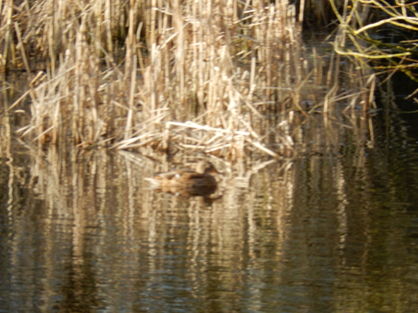 Reflections in water of reeds and a duck